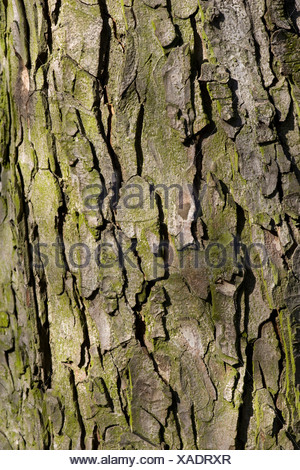 common horse chestnut (Aesculus hippocastanum), bark, Germany - Stock Photo