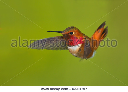 Male Rufous hummingbird (Selasphorus rufus) in flight, Victoria, Vancouver Island, British Columbia, Canada - Stock Photo