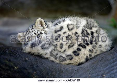 Panthera unica, - Stock Photo