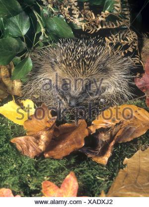 Hedgehog - Erinaceus europaeus - Stock Photo