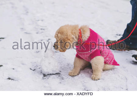 Golden retriever puppy dog wearing pink sweater licking mini snowman - Stock Photo