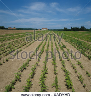Conifer nursery with rows of young trees France - Stock Photo