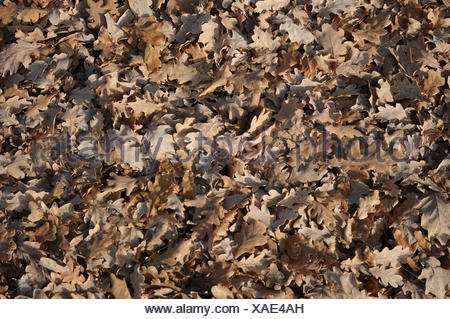 Quercus robur, German oak, autumn leaves - Stock Photo