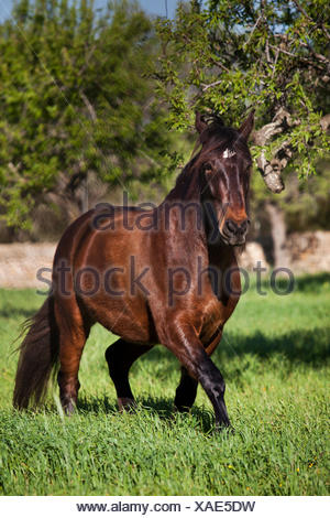 PRE, Pura Raza Española, bay gelding trotting in a meadow, Majorca, Balearic Islands, Spain - Stock Photo