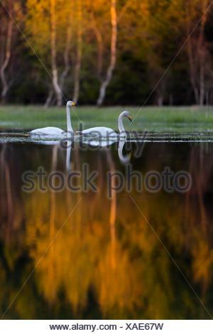 Two swans on lake - Stock Photo