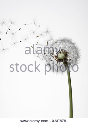 Close up of dandelion spores blowing away - Stock Photo