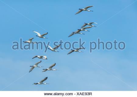 Group of Eurasian Spoonbills(Platalea leucorodia) in flight, Dholpur, Rajasthan, India - Stock Photo