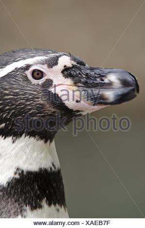 Humboldt penguin, Spheniscus humboldti, portrait, side view, - Stock Photo