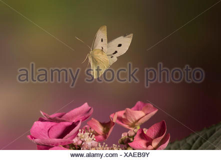 Large White Butterfly Pieris brassicae UK - Stock Photo