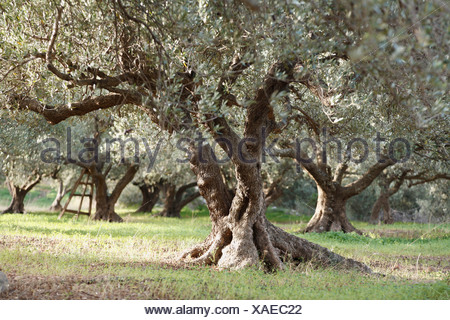 Greece, Crete, Olive tree in olive orchard - Stock Photo