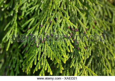 Japanischer Lebensbaum, Japan-Lebensbaum, Japanlebensbaum (Thuja standishii), Zweig mit maennlichen Blueten | Japanese Thuja, ne - Stock Photo