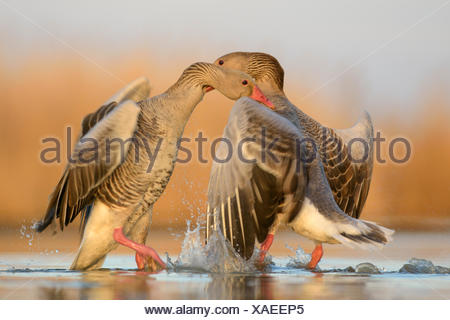Greylag geese (Anser anser), territorial fight, two dominant males, Kiskunság National Park, Hungary - Stock Photo