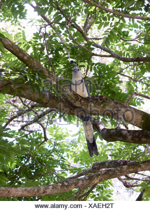 Central America, Costa Rica, White Throated Magpie Jay perching on tree - Stock Photo