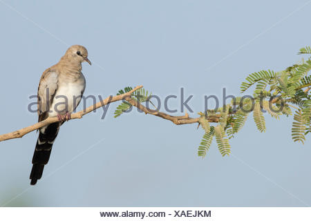 Namaqua Dove perched in a tree - Stock Photo