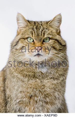 Wildcat (Felis sylvestris), portrait, close-up - Stock Photo
