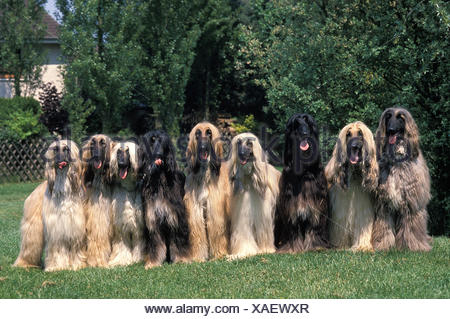 AFGHAN HOUND, GROUP ON HOUSE GARDEN - Stock Photo