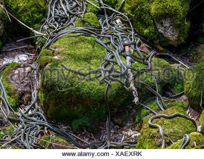 Red-sided Garter Snakes emerging from wintering den during annual mating ritual, Narcisse Snake Dens, Narcisse, Manitoba, Canada. - Stock Photo