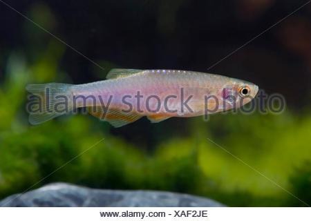 pearl danio (Brachydanio albolineatus), swimming - Stock Photo