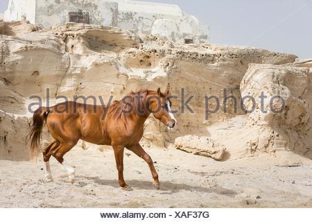 Arab Horse. Chestnut stallion walking on a beach with rocks in background. Tunisia - Stock Photo