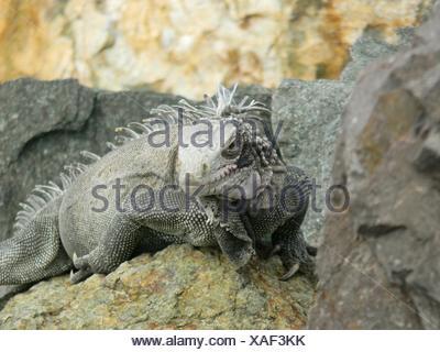 Close-Up Of Marine Iguana On Rock - Stock Photo