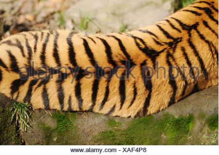 Siberian tiger - bird's-eye view / Panthera tigris altaica
