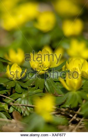 winter aconite, eranthis hyemalis - Stock Photo