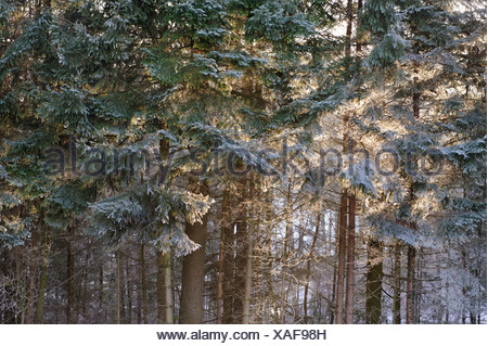 Sun shining through a hoar frost covered forest - Stock Photo