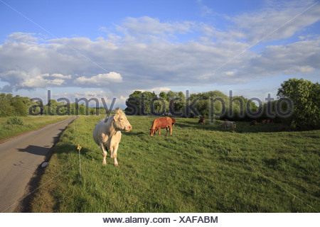 Domestic Cattle cows herd grazing beside electric fence roadside pasture commonland reserve Mellis Common Mellis Suffolk - Stock Photo