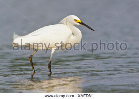 Snowy Egret (Egretta thula) feeding along the shore of a river in Costa Rica, Central America. - Stock Photo