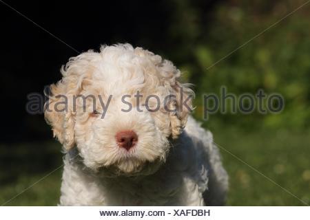 Lagotto Romagnolo puppy - Stock Photo