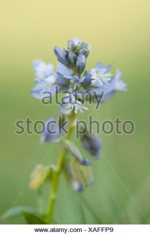 Common Milkwort, Polygala vulgaris, The Larches, Kent Wildlife Trust, UK, small, blue, flower - Stock Photo