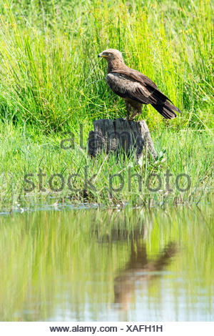lesser spotted eagle (Aquila pomarina), searching food on a lookout in wetland, Germany, Mecklenburg-Western Pomerania - Stock Photo