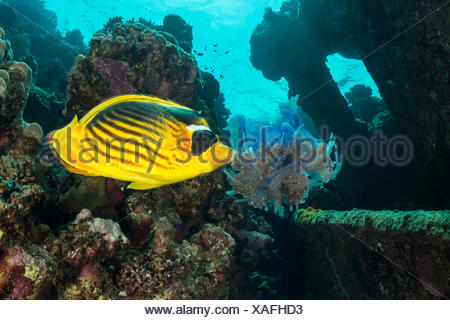 Raccoon Butterflyfish eating Jellyfish, Chaetodon fasciatus, Fury Shoal, Red Sea, Egypt - Stock Photo
