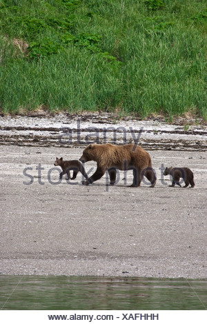 Grizzly sow walks with young cubs along the coastline at Katmai National Park, Alaska - Stock Photo