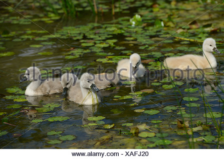 Group of Mute Swan chicks (Cygnus olor) floating on water - Stock Photo