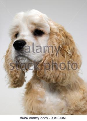 An American Cocker Spaniel looking sad - Stock Photo