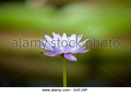 A purple water lily in flower - Stock Photo