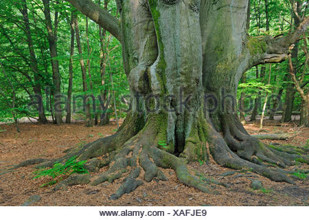 common beech (Fagus sylvatica), mossy old tree trunk, Germany, Hesse, Urwald Sababurg, Reinhardswald - Stock Photo