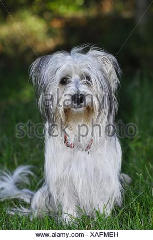 sitting Biewer Yorkshire Terrier - Stock Photo