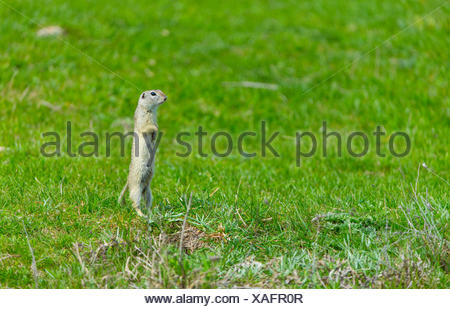 European ground squirrel standing in grass - Bulgaria - Stock Photo