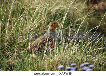 zoology / animals, avian / bird, Phasianidae, Grey Partridge (Perdix perdix), standing in meadow, Oeland, Sweden, distribution: Europe, Asia, Additional-Rights-Clearance-Info-Not-Available - Stock Photo
