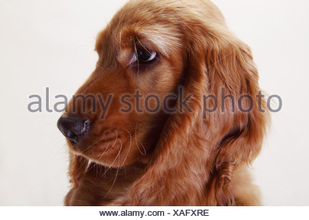 A Working Cocker Spaniel, side view - Stock Photo