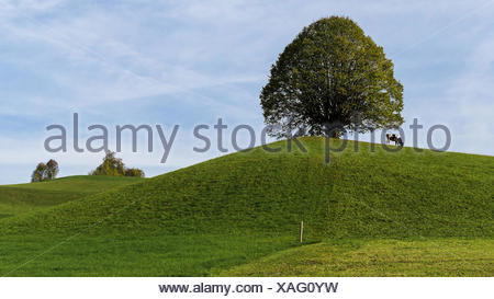 Lime-tree on the Hürnlis - Stock Photo