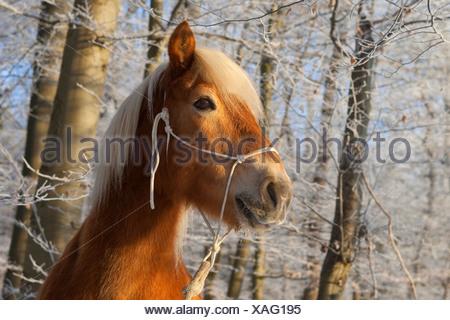 Haflinger horse (Equus przewalskii f. caballus), portrait in a winter forest - Stock Photo