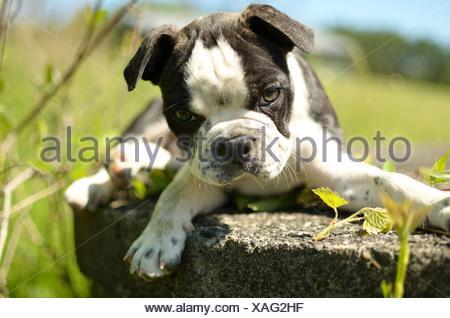 Boston terrier pug mix puppy lying in garden - Stock Photo