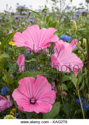 Bechermalve, Becher-Malve, Gartenlavatera, Garten-Lavatera (Lavatera trimestris), bluehend in einem Bluehstreifen, Deutschland | - Stock Photo