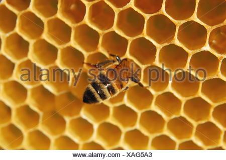 insect, wax, honeycomb, yellow, bee, texture, natural, macro, close-up, macro - Stock Photo