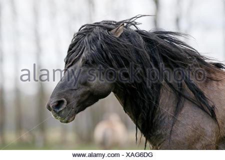 Dülmen wild horse, portrait, Dülmen, North Rhine-Westphalia, Germany - Stock Photo