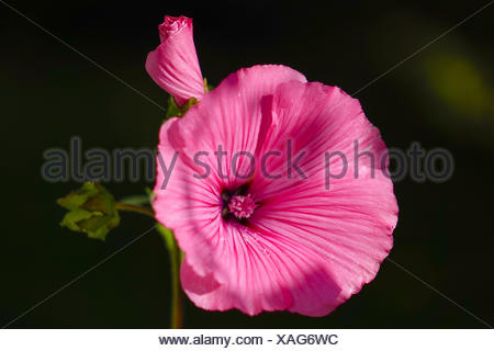 Blüte einer Rosa Becher-Malve (Lavatera trimestris), Flower of a Rosa Mallow (Lavatera trimestris), above, bloom, blooms, blosso - Stock Photo