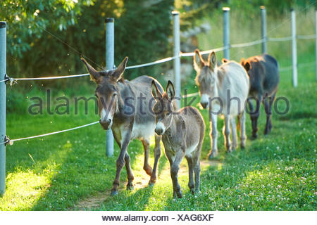 Domestic donkey (Equus asinus asinus), mare with foal and two another donkeys in a meadow, Germany - Stock Photo